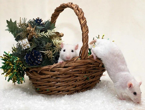 картинки с крысами прикольные (12)