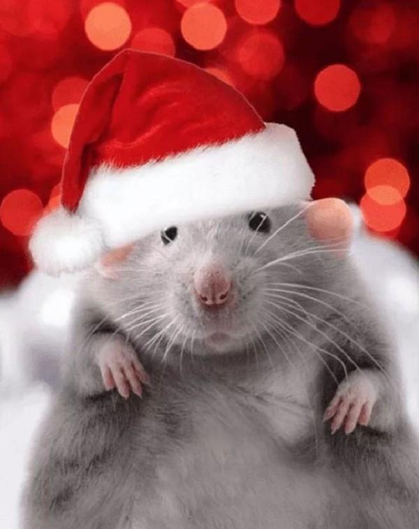 картинки с крысами прикольные (13)