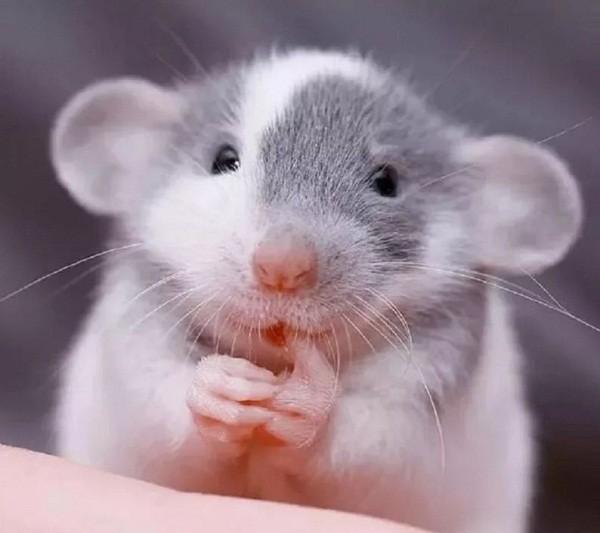 картинки с крысами прикольные (14)