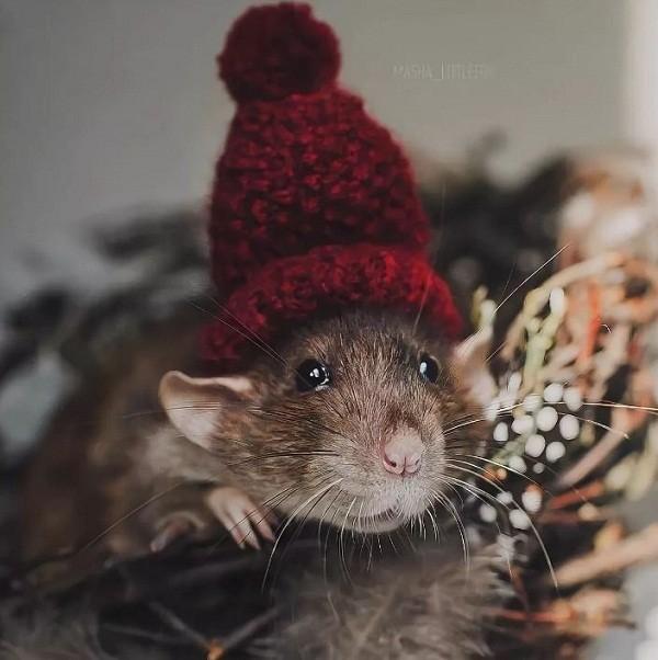 картинки с крысами прикольные (15)