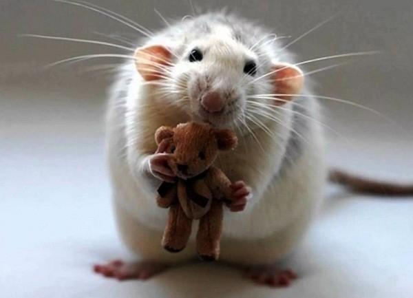 картинки с крысами прикольные (16)