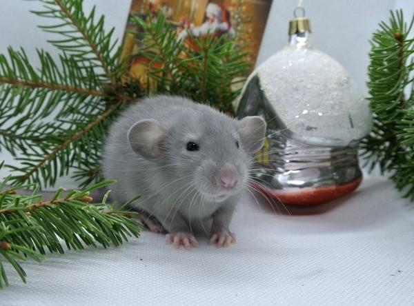 картинки с крысами прикольные (17)