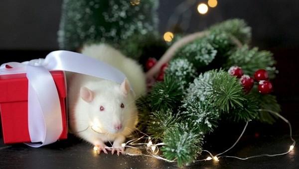 картинки с крысами прикольные (27)