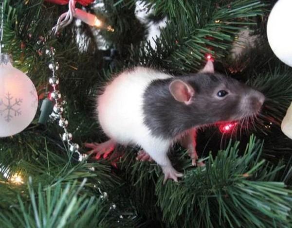 картинки с крысами прикольные (28)