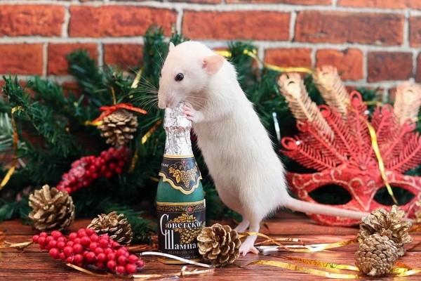 картинки с крысами прикольные (4)