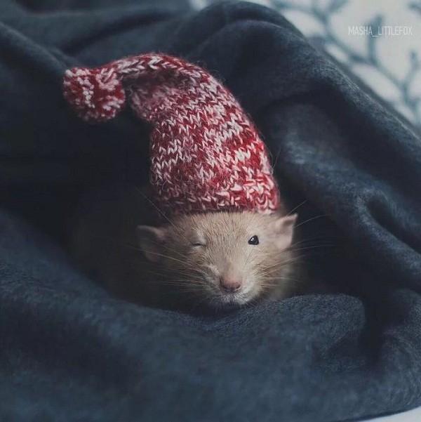 картинки с крысами прикольные (6)