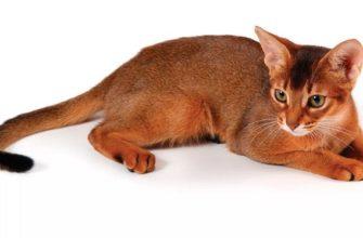 абесинская кошка