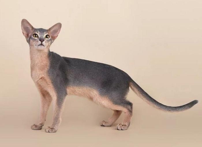 абесинский кот