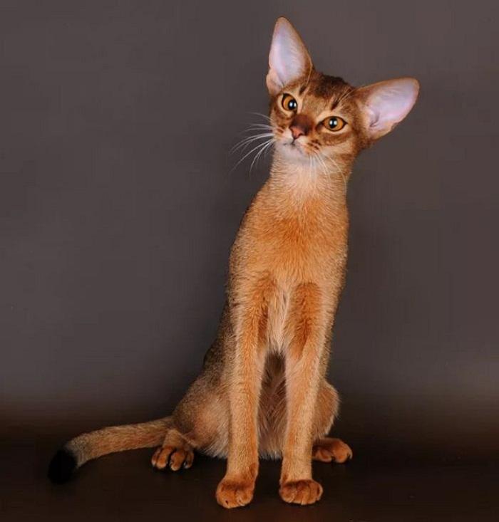 абиссинская кошка (2)