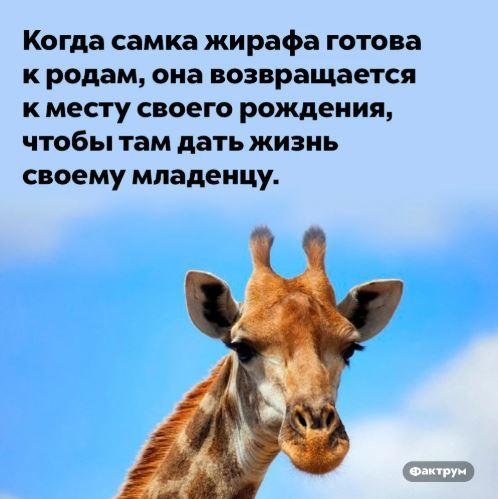 зачем жирафу длинная шея (2)