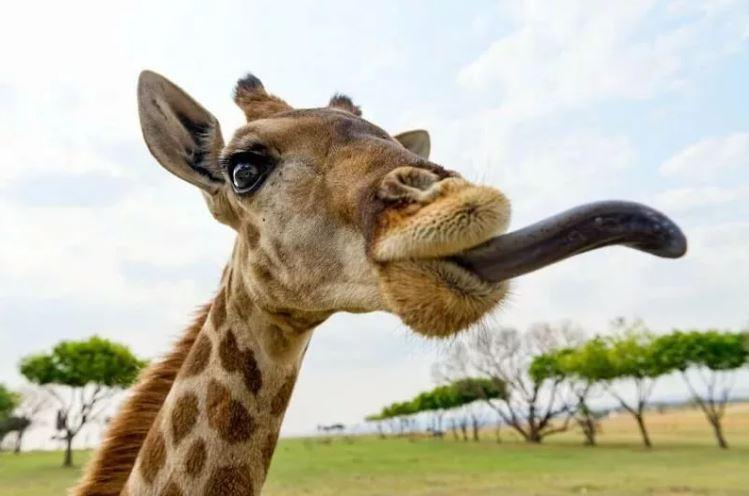 зачем жирафу длинная шея