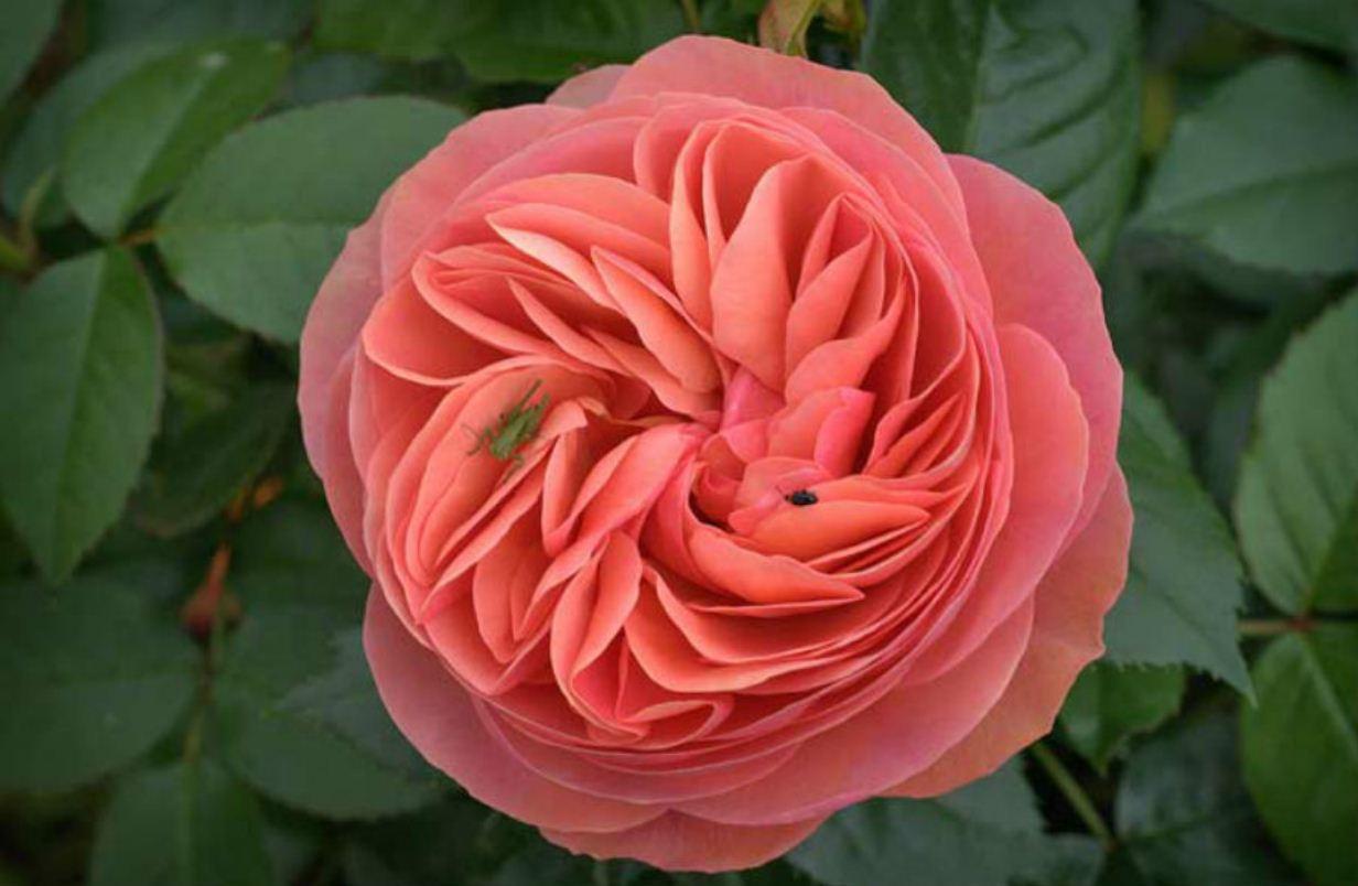 галлика цветок фото