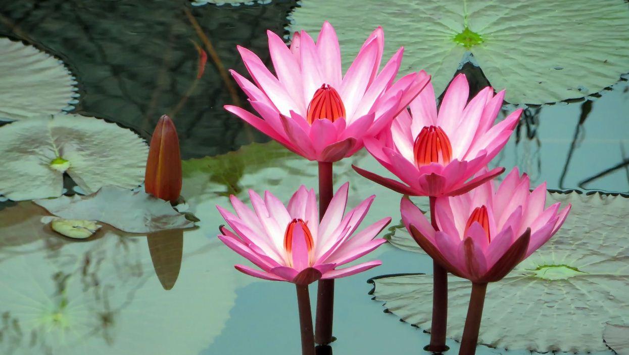 лотос цветок фото картинки красивые