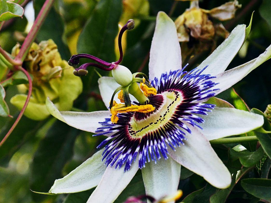 пассифлора цветок фото (2)