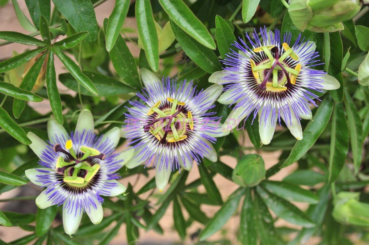 пассифлора цветок фото