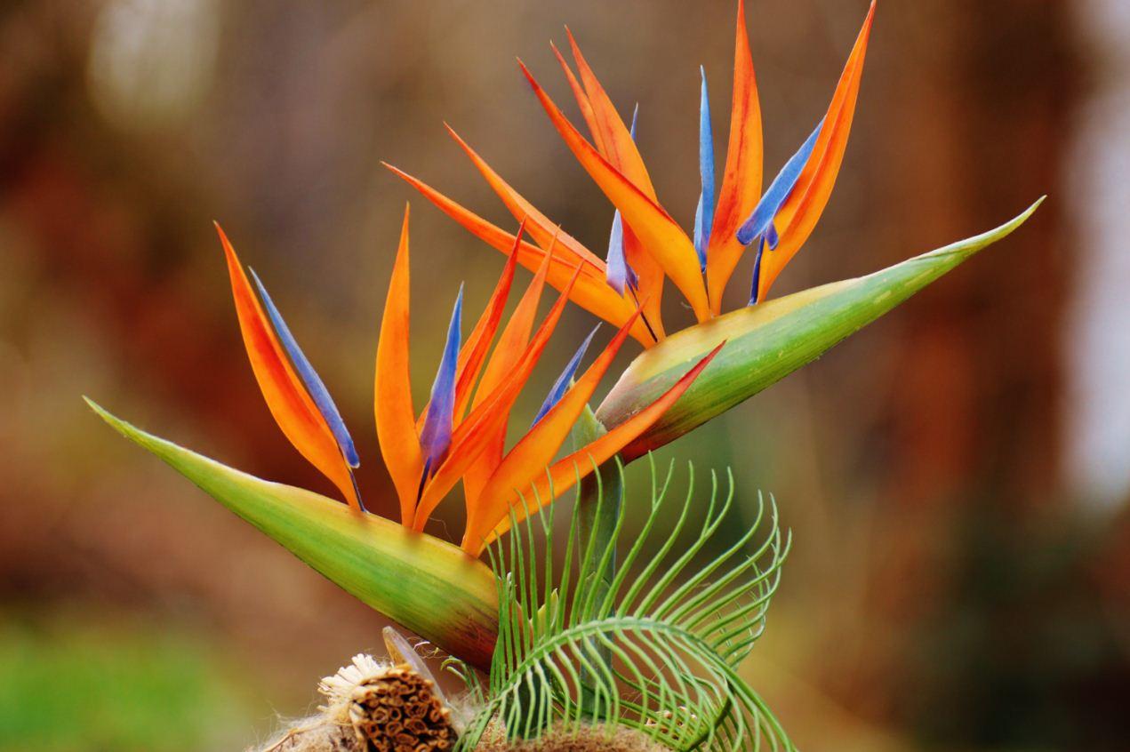 стрелиция цветок фото и описание (2)