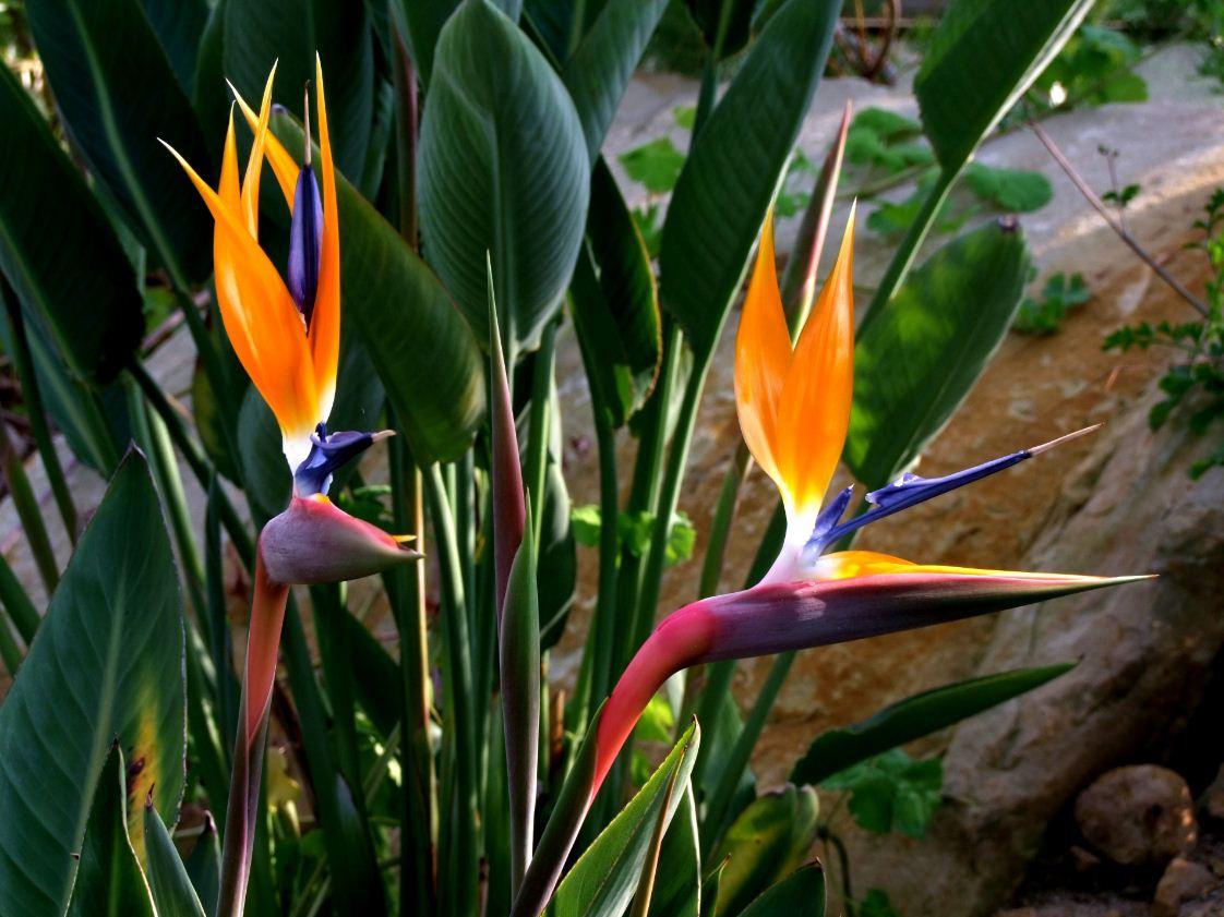 стрелиция цветок фото и описание