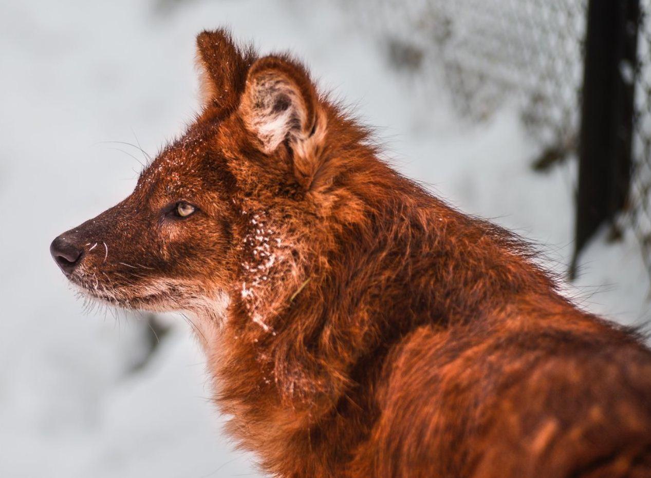 Красный волк (10)
