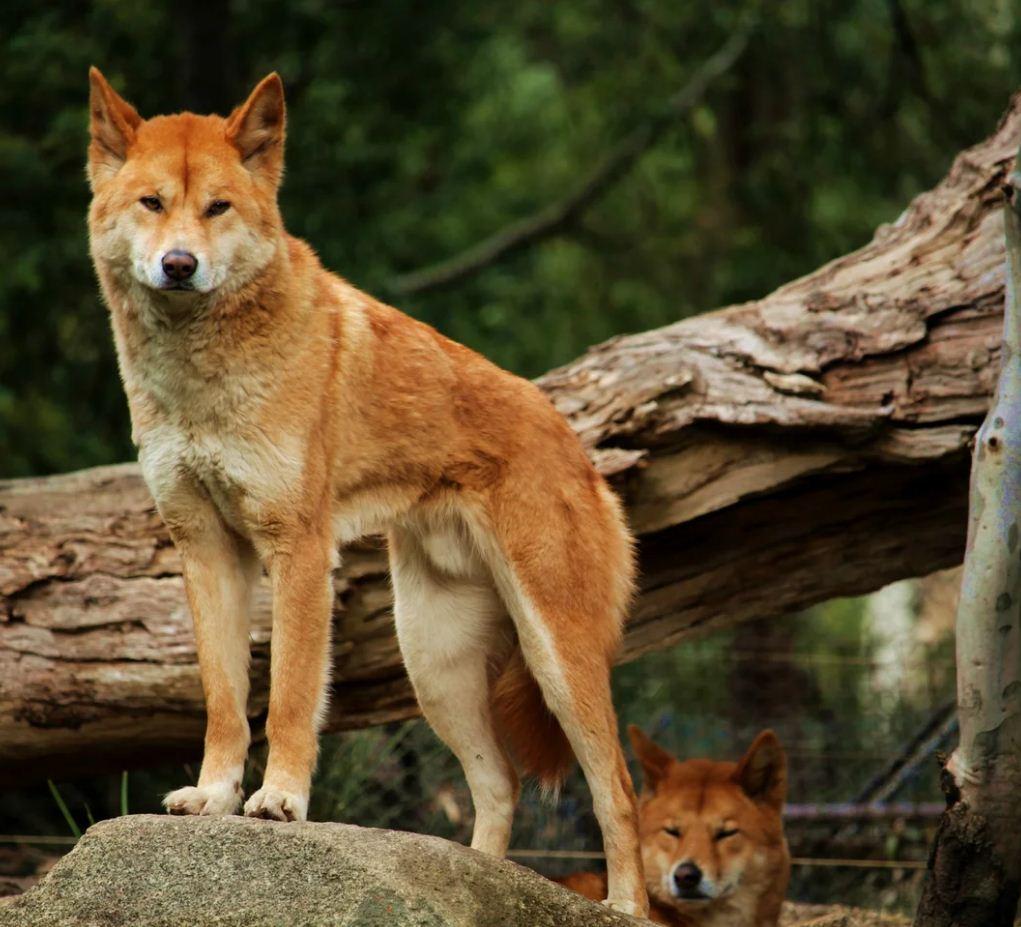 Красный волк (12)
