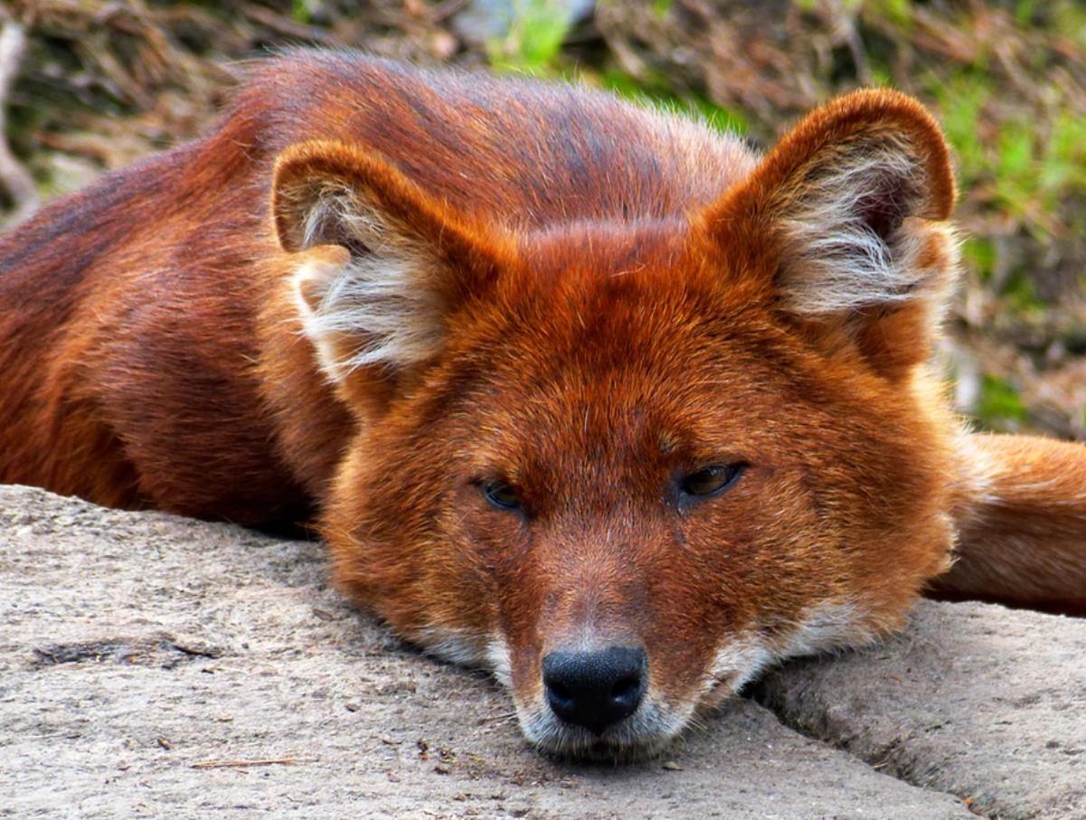 Красный волк (13)