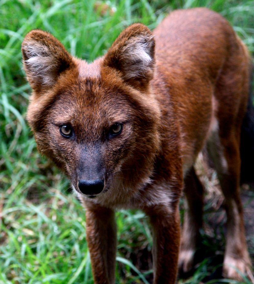 Красный волк (2)