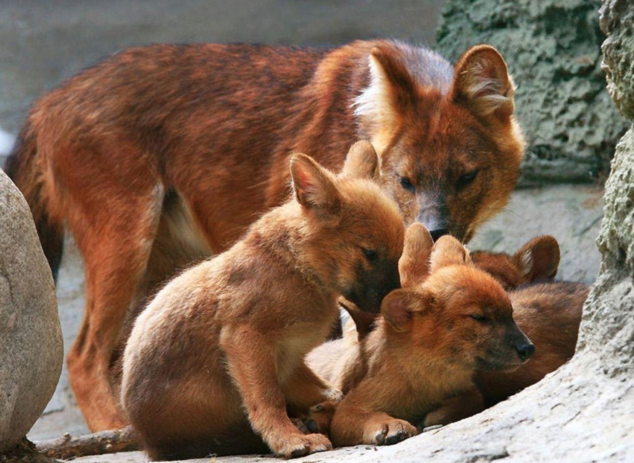 Красный волк (3)