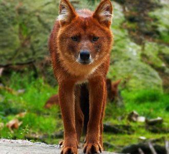 Красный волк (4)