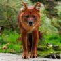 Красный волк: краткое описание вида и фото Cuon alpinus