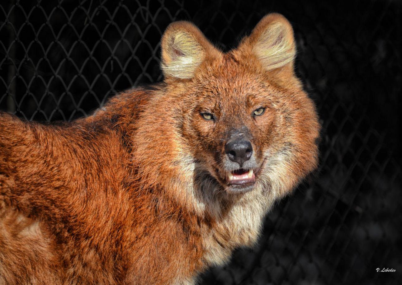 Красный волк (6)