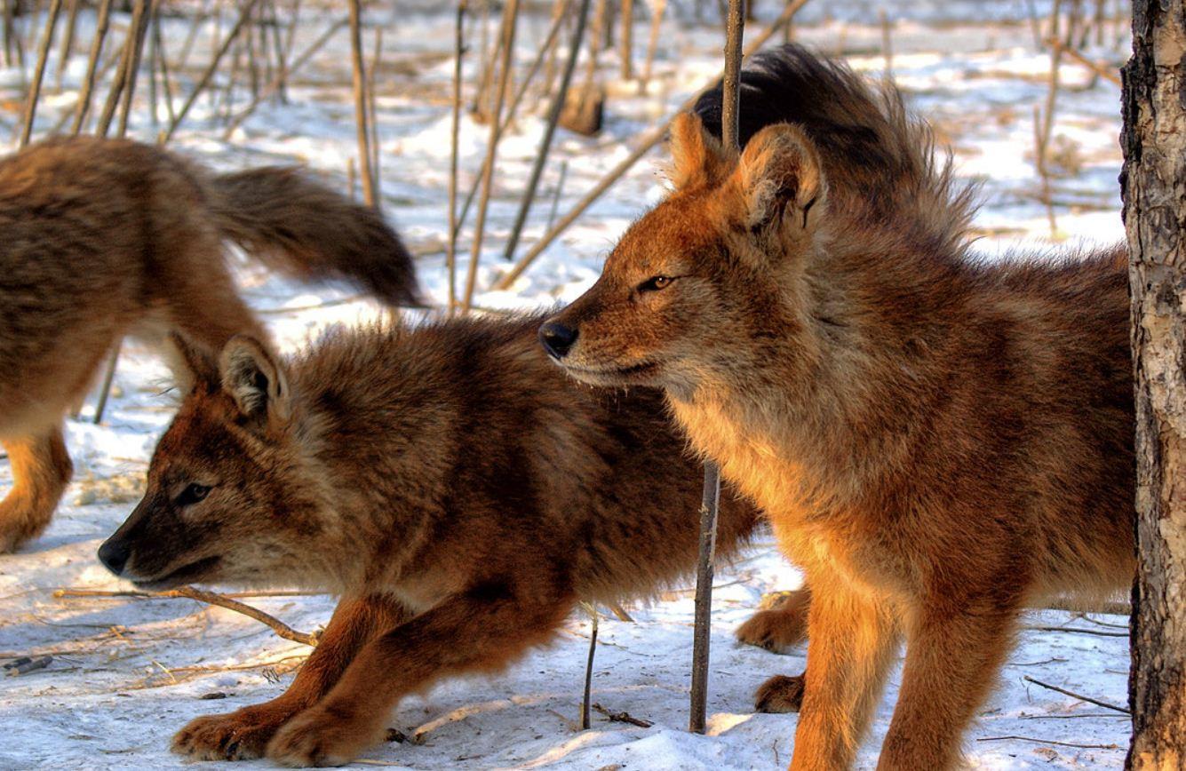 Красный волк (7)