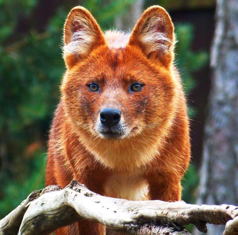 Красный волк (8)