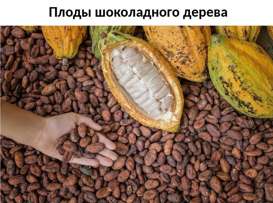 дерево какао (2)