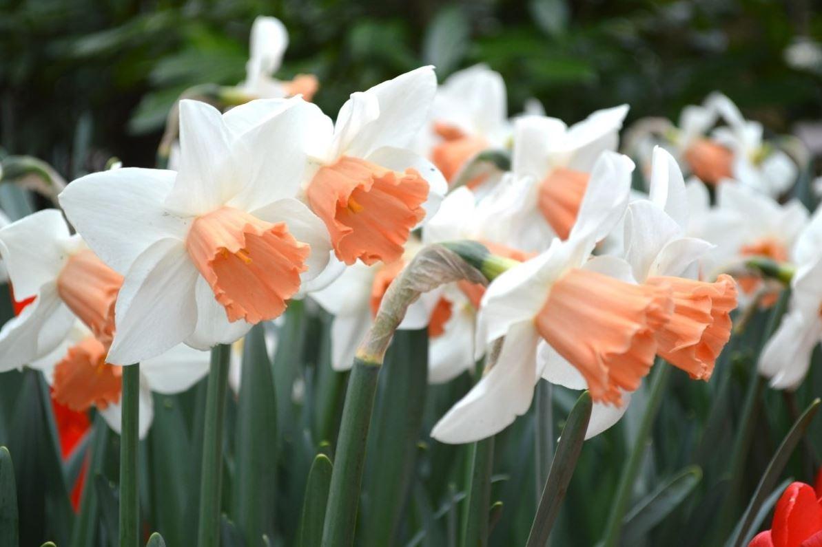 Нарцисс 1