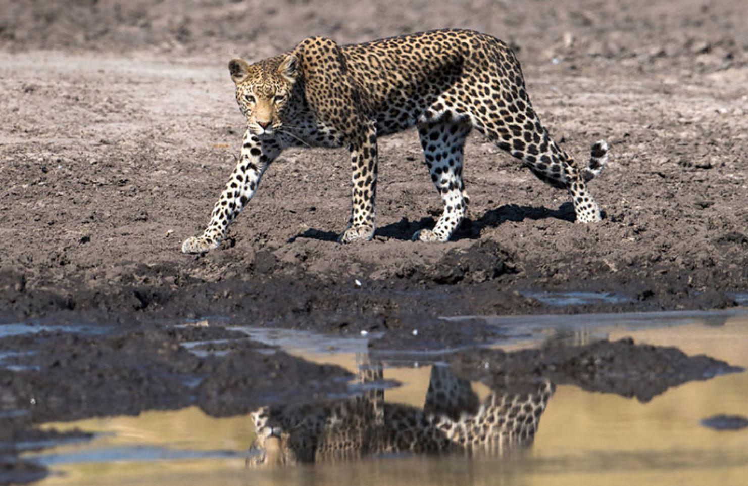 Фото леопарда 1