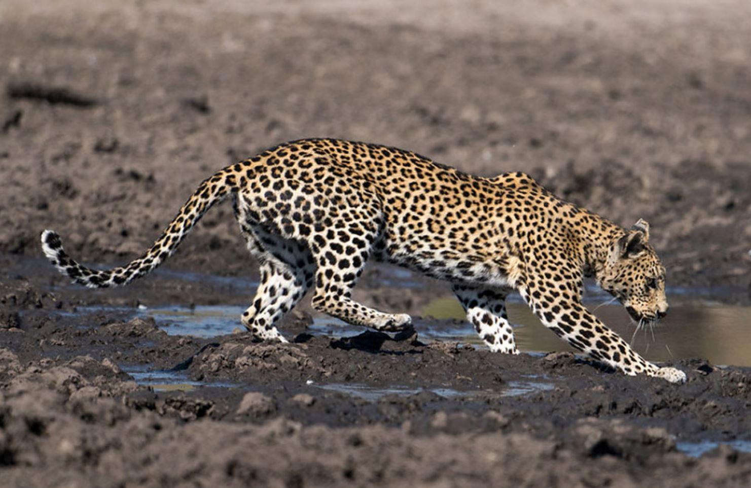 Фото леопарда 2