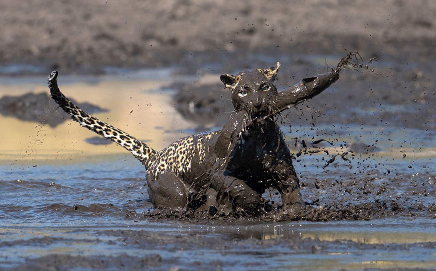 Леопард ловит рыбу, красивые фото дикой кошки в природе