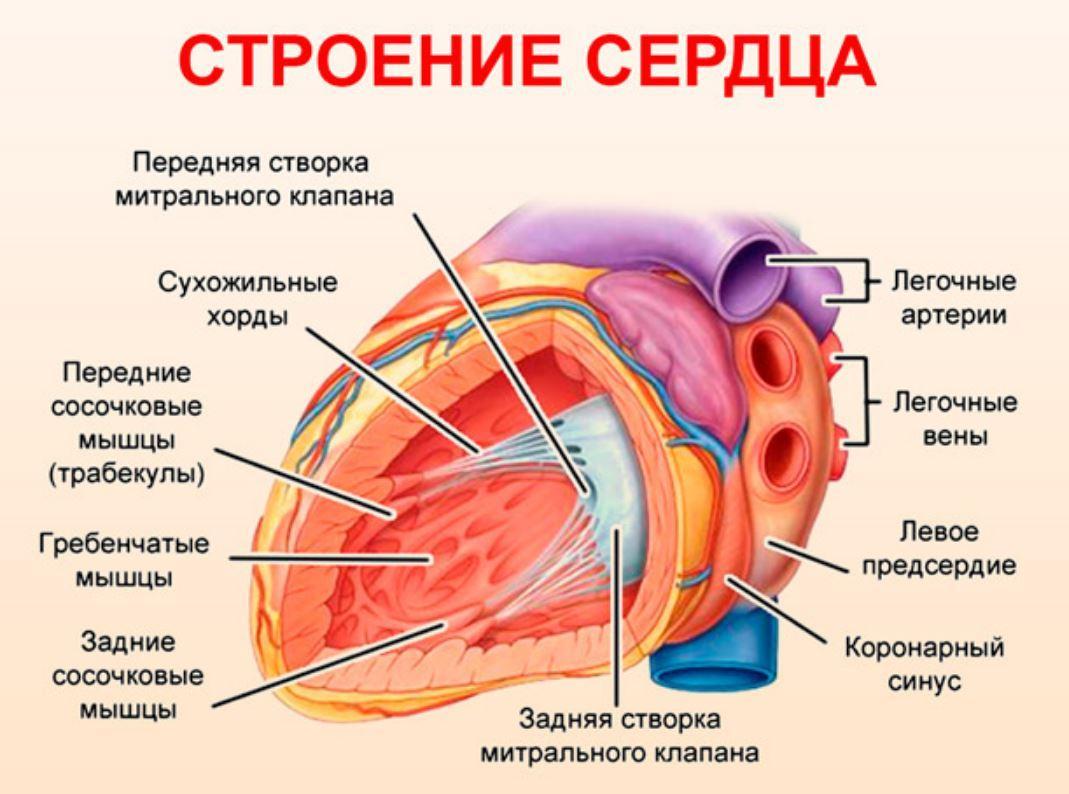 трабекулы сердца