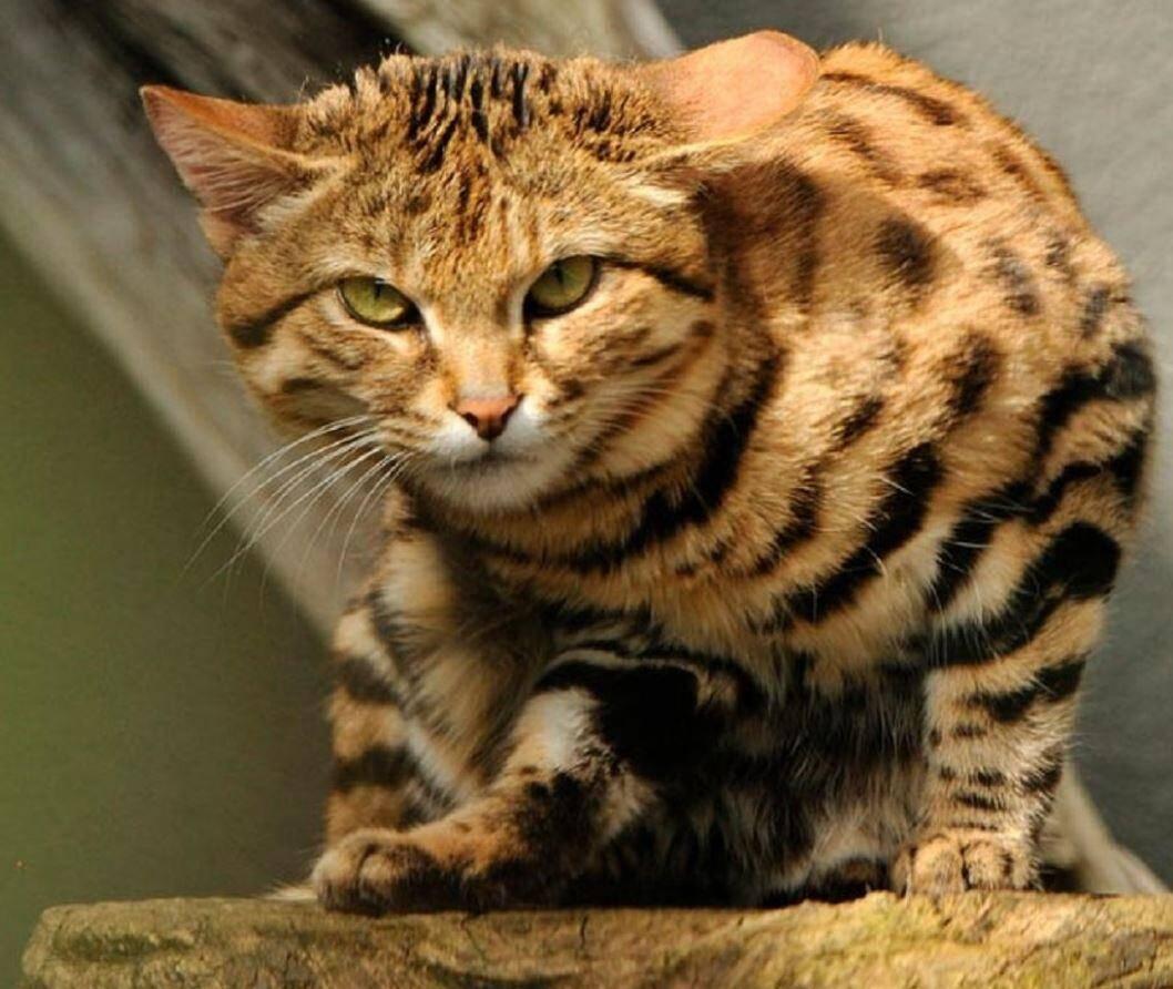 Самая опасная кошка в мире — черноногая кошка (felis nigripes)