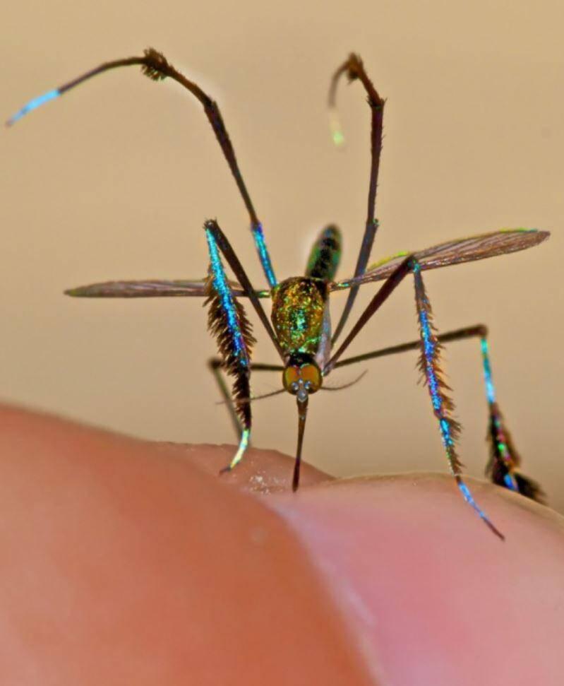 Самый красивый комар в мире — Sabethes Culicidae
