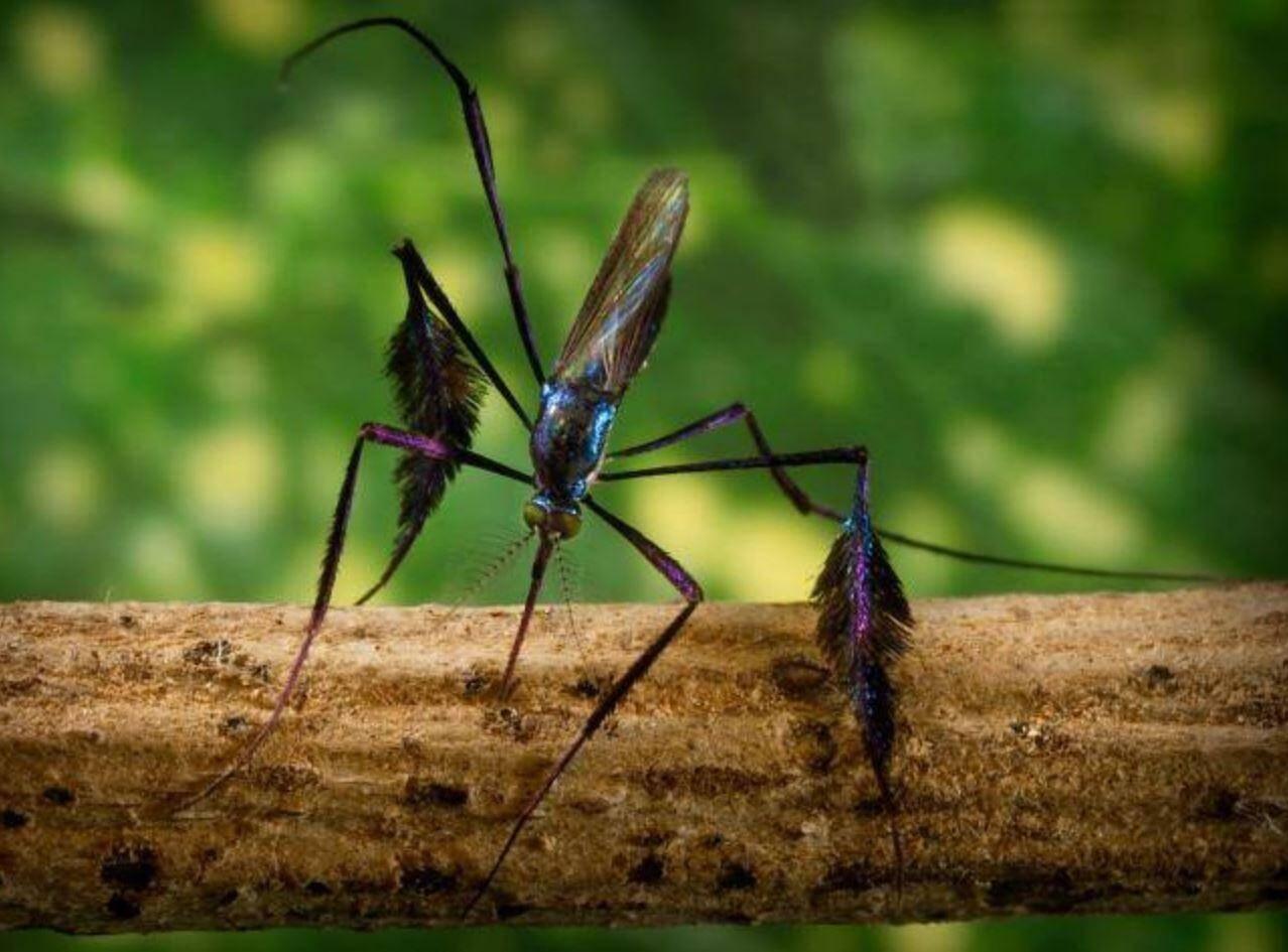 комар Sabethes (3)
