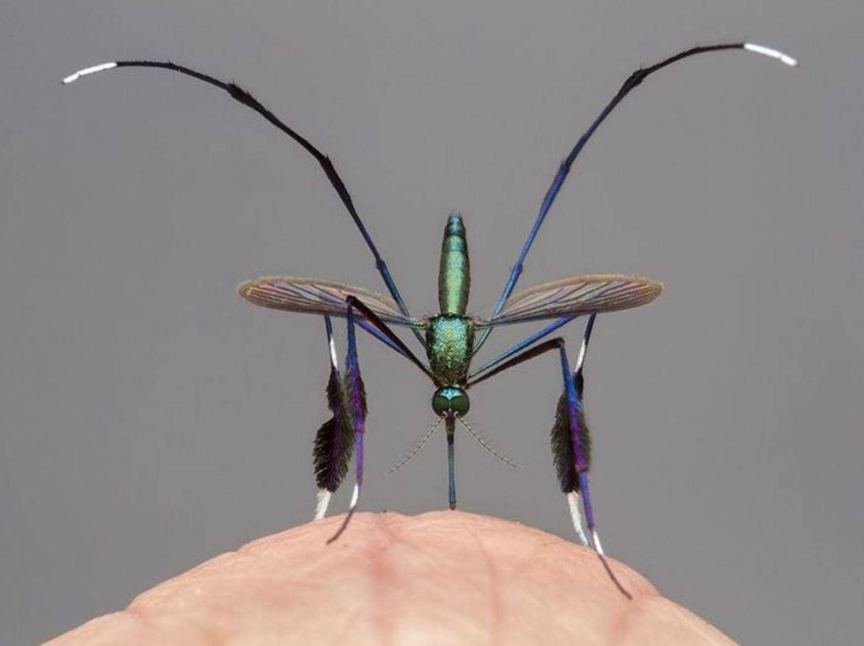 комар Sabethes